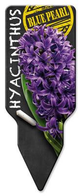 Hyacinthus_Blue Pearl_Westendflowerbulbs