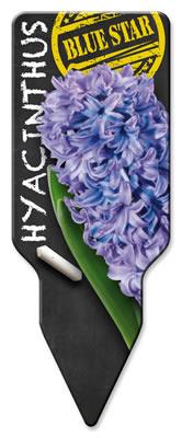 Hyacinthus_Blue Star_Westendflowerbulbs