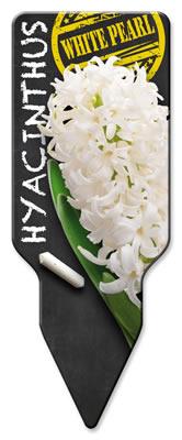 Hyacinthus_White Pearl_Westendflowerbulbs
